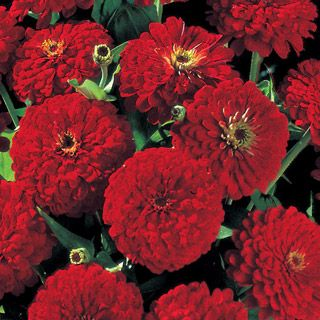 Love these, easy to grow, quick blooming, attract butterflies, not deer...love this plant...zinnias...fabulous cut flower too!