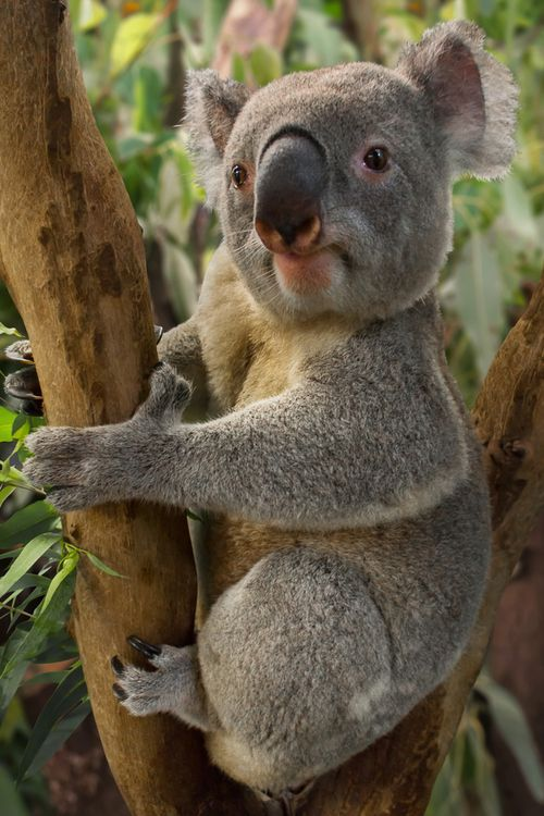 earthandanimals:    Koala.   Photo by Adrienne Elliot