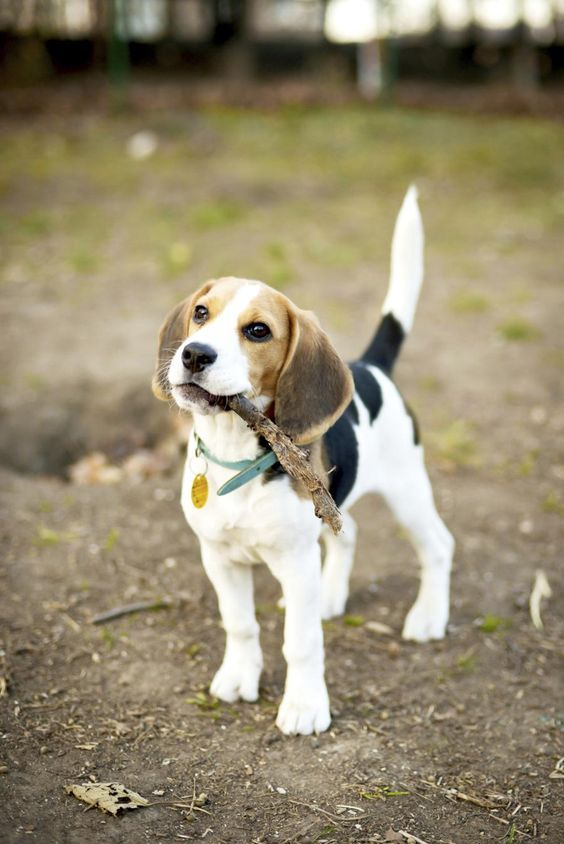 5 Reasons Small Dogs Are Awesome Beagle Puppy Dog Breeds Cute