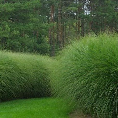 One Of Our Favorite Garden Textures Maiden Grass Miscanthus Sinensis Here Morning Light Via The Los Grasses Landscaping Evergreen Plants Landscape Design