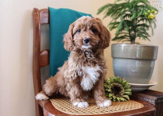 Holly Miniature Poodles Puppy For Sale In Lincoln University Pa Lancaster Puppies Poodle Puppies For Sale Miniature Poodle Puppy Puppies For Sale