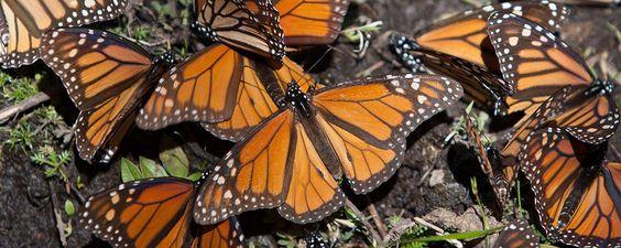 Los 5 santuarios de la Mariposa Monarca en México. Te presentamos los cinco parques naturales, en Michoacán y el Edomex, donde podrás admirar a este pequeño pero increíble volador durante su breve estadía en MX (de noviembre a marzo).
