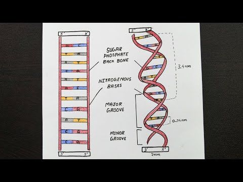 Diagram Of A Dna Structure Labelled Diagram Of Dna Structure Class 12 Biology Youtube In 2021 Biology Diagram Dna