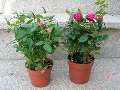 Días de rosas: Cultivo de rosales miniatura (I): como separar esquejes