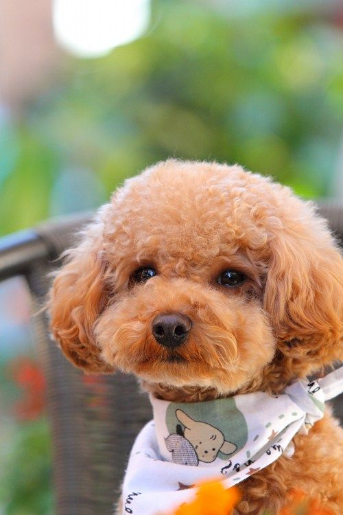 cute brown poodle puppy i love love love puppies