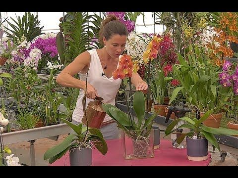 Comment Bien Arroser Une Orchidee Phalaenopsis Youtube En 2020