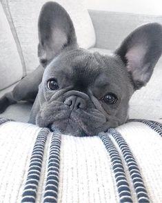 Frenchie Frenchies Frenchbulldog Frenchiesofinstagram