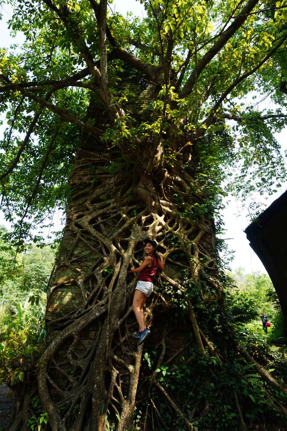 Spectacular old tree at the southern ruin of the Longteng Bridge. The jewel of Taiwan railway construction, built in 1907 but left in ruins due to the earthquake at 1935 that destroyed it.
