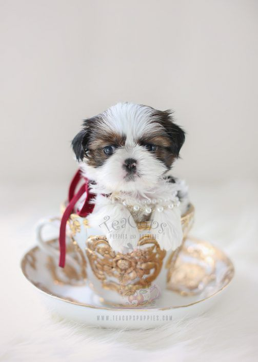 Adorable Shih Tzu Puppy By Teacup Puppies Boutique Home Raised And Locally Bred In South Florida S Teacup Puppies Shih Tzu Puppy Teacup Puppies For Sale