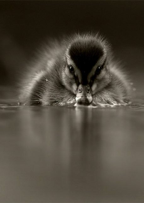 Baby duck by Michael Seth. °