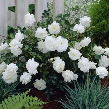 Fairy Roses white - 3 plants Buy online order yours now