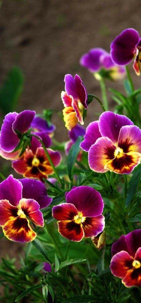 I Love Pansies Pansies Flowers Beautiful Flowers Pansies