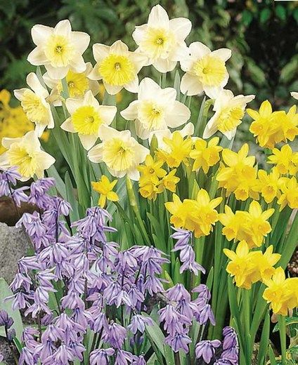 Spring Borders, Bulb Combinations, Perennial Combinations,Scilla Siberica, Siberian Squill, Narcissus Tete a Tete, Daffodil Tete a Tete, Narcissus Ice Follies, Daffodil Ice Follies