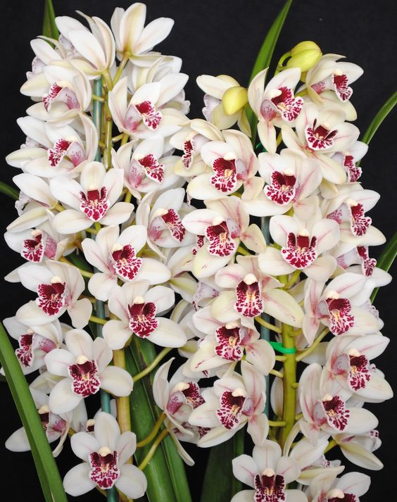 Jeanne's Recipes and Things - Cymbidium Orchid