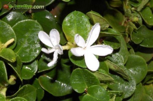 Carissa macrocarpa / ameixa-de-natal