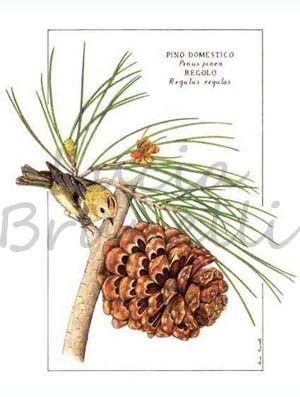 foglie e frutto di pino domestico pinus pinea con il
