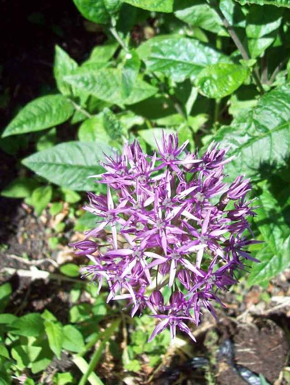 Allium. http://www.mandycanudigit.co.uk/#!unusual-alliums/cma6