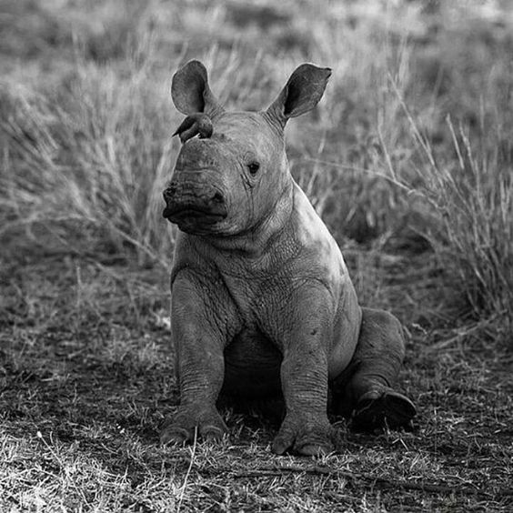 """579 Likes, 7 Comments - Shazir """"shizzy"""" Haque (@shizzyswildcatrescue) on Instagram: """"Repost @wonderousnature ・・・ This will always be my favorite baby rhino photo I just cannot…"""""""