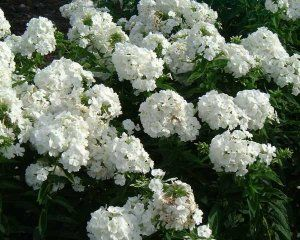 Phlox douglasii 'White Admiral' is an herbaceous perennial of upright habit, to 90cm tall, with lance-shaped leaves and panicles of fragrant, pure white flowers in mid and late summer. Sun or part-shade