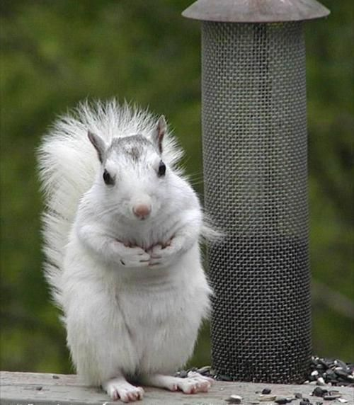 An all white squirrel by cowboy: