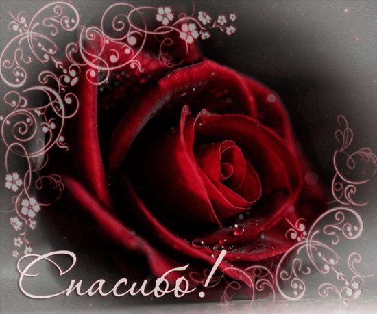 Спасибо и роза - Бордовая роза в знак благодарности | Открытки, Розы,  Красные розы