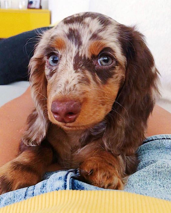 Dapple Dachshund Dapple Dachshund Dachshund Puppy Miniature Dachshund Puppy Long Haired