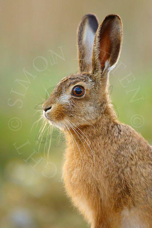 European Hare Lepus Europaeus Juvenile On Farmland Norfolk Uk Animals Beautiful Cute Animals Nature Animals