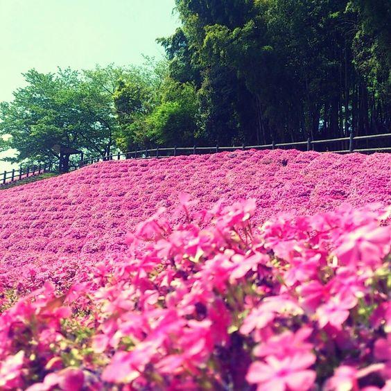 水平社博物館 芝桜