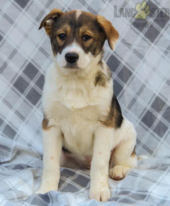 Australian Shepherd Lab Mix For Sale : australian, shepherd, Bailey, DiGiacomo, Shepherd, Puppies,, Australian, Puppies