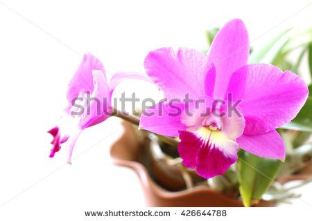 fresh pink orchid blooming in soft mood #2 - stock photo