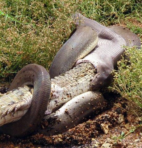 Giant snake eating hippo - photo#24