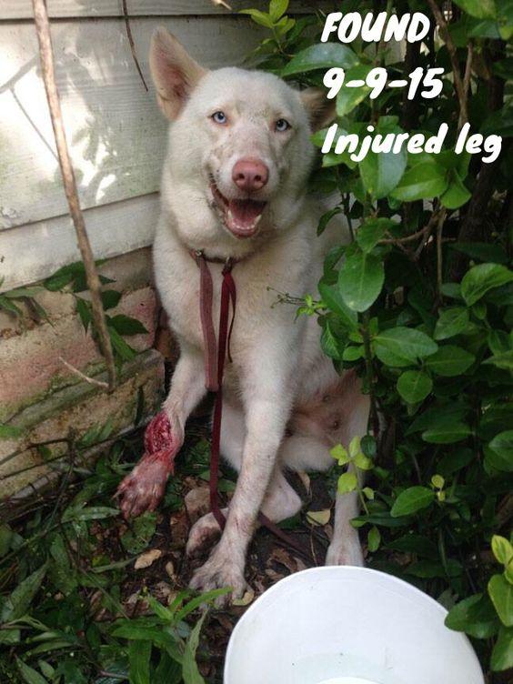 Founddog 9 9 15 Pasadena Tx Siberianhusky X F Blue Eyes Injured Leg Pasadena Animal Control 281 998 7387 Losing A Dog Animal Activism Female Siberian Husky