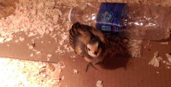 This is a picture of the baby chick that we are babysitting from the Ag Science class at our kids' school, isn't it cute?