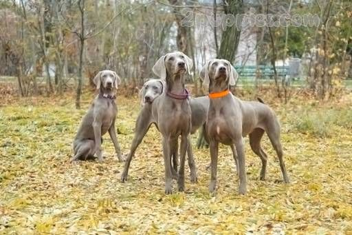 Find Your Dream Puppy Of The Right Dog Breed At Weimaraner Puppies Puppies For Sale Dog Breeds