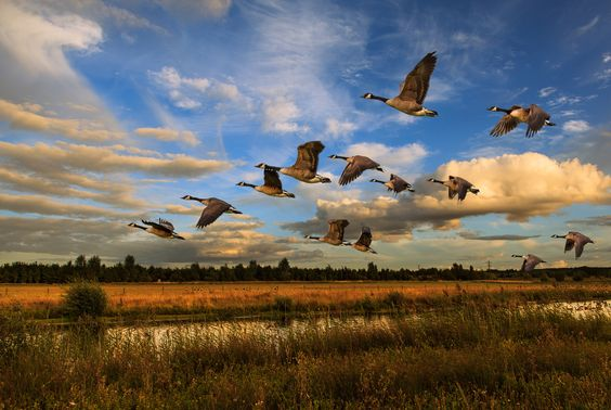 Geese at Sunset by Ian Whiting