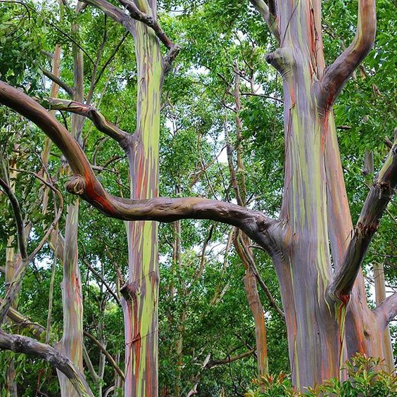 These are the Mindanao Gum Trees (also referred to as Rainbow Eucalyptus) on the…