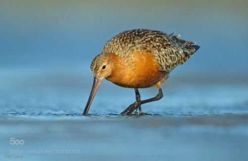 kohalmitamas:  Bar tailed Godwit by OferLevy1