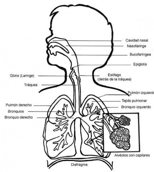 El Aparato Respiratorio Para Colorear Aparato Respiratorio Sistema Respiratorio Respiratorio