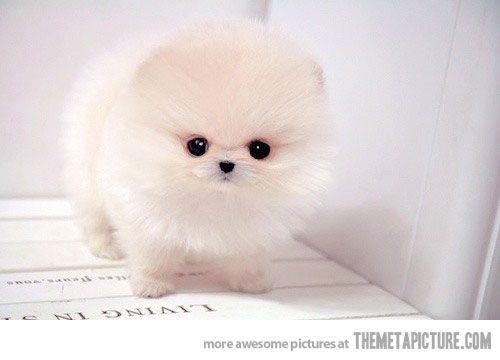 Samoyed Puppy Information, Behavior, Training and More
