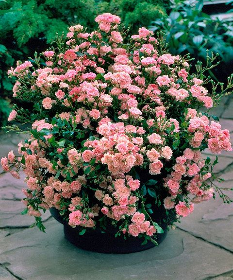 'Fairy' Pink Rose Plant in container: