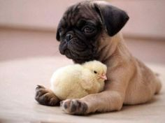 adorable baby chick and a dog