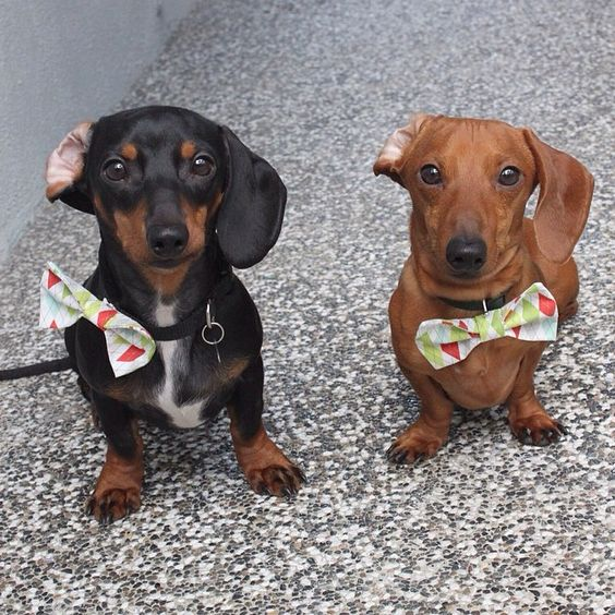 Happy dapper Friday to you! Tank and Bear with matching bowties and ears...