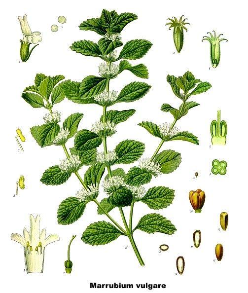Marrubio Marrubium vulgare