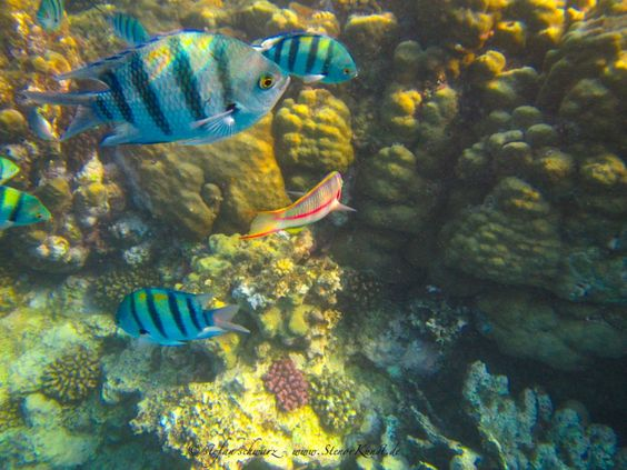 Unterwasserphotographie – Schildkröte und Fische im Roten Meer | Stenorkunst