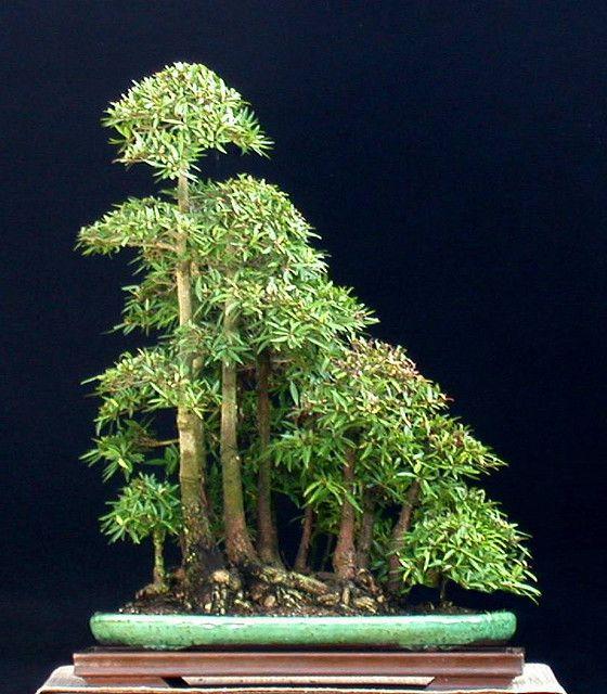 ficus salicifolia forrest by jim smith bonsai. Black Bedroom Furniture Sets. Home Design Ideas