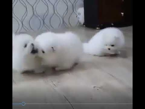 Kuwait Dogs And Puppies Adoption And Sales Email Us At Khaleelsalafi Hotmail Pomeranian Puppy For Sale Rottweiler Puppies For Sale Goldendoodle Puppy For Sale