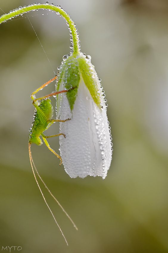 **Grasshopper with Snowdrop -- photo: Myto: