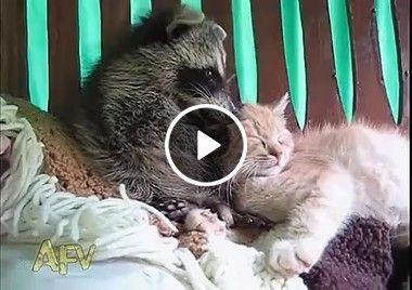 Esse casal não combina ,gato e guaxinim.