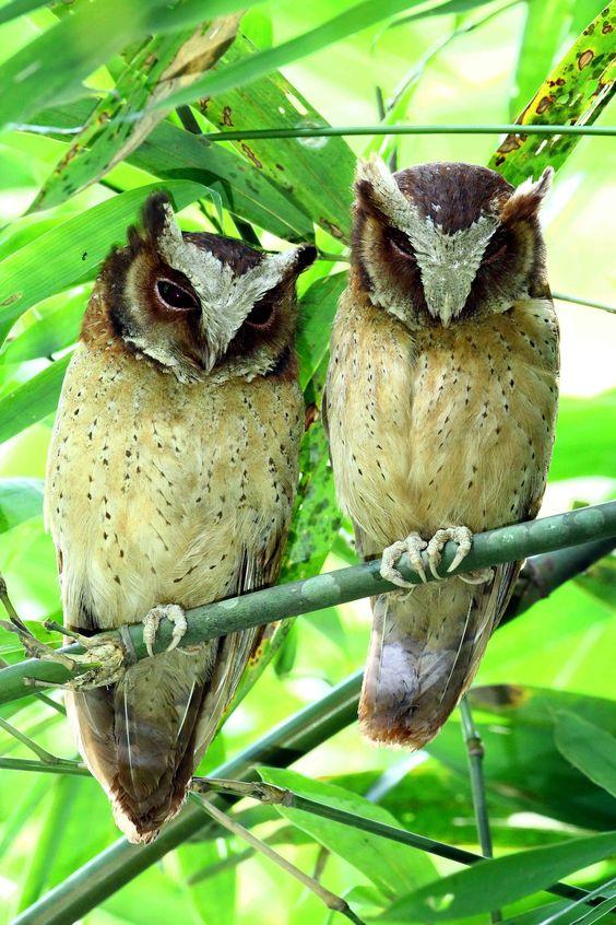 White-front Scops Owl - @Kaeng krachan national park Thailand