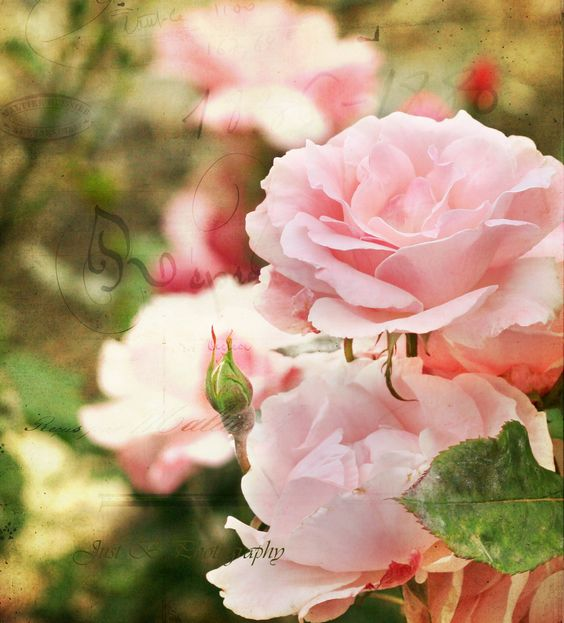 Pink roses make me happy.